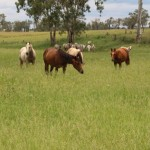 Eidsvold District 3000 Acres c/c 650/700 dry cattle