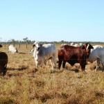 1620 Acres 10 minutes on coastal side of Maryborough ,currently carrying 600 Bullocks