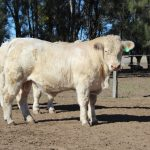 Bull Sale – 80 Charolais & Charbray – July 29th 2016