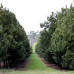 Macadamia Farm – 6000 trees , fully equipped -excl Homestead – coming soon !!!